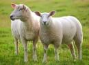 creske ovce