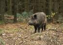 svinja vepar divljač